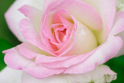 Day Photo Originals - White-pink Rose by Atiketta Sangasaeng