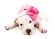 Headband Metal Prints - White Pit Bull Dog Wearing Pink  Metal Print by Susan  Schmitz