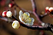 Flower-in-bloom Prints - White Plum Blossoms Print by Jim Mayes