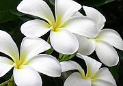 Molokai Art - White Plumeria by James Temple
