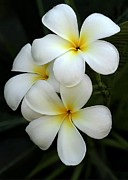 White Plumeria Print by Sabrina L Ryan