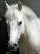 Pony Photos - White Pony by Sally Crossthwaite