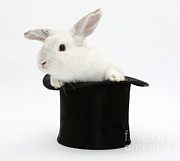 Magic Hat Photos - White Rabbit In Hat by Mark Taylor