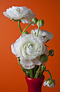 Seasonal Bloom Posters - White ranunculus close up in red vase Poster by Garry Gay