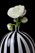 Colours Posters - White ranunculus in black and white vase Poster by Garry Gay