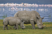 Rhinos Posters - White Rhino Mother And Calf Grazing Poster by Ingo Arndt