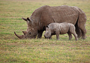 Animal Family Prints - White Rhinocero Grazing Side By Side Print by Achim Mittler, Frankfurt am Main