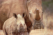 Rhinos Posters - White Rhinoceros Ceratotherium Simum Poster by Gerry Ellis
