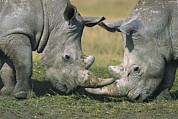 Rhinos Posters - White Rhinoceros Ceratotherium Simum Poster by Martin Withers