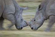 Rhinos Posters - White Rhinoceros Males Fighting Poster by Ingo Arndt