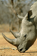 Rhinoceros Framed Prints - White Rhinoceros Framed Print by Tony Camacho