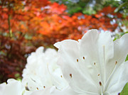 Recent Posters - White Rhododendron Flowers Autumn Floral prints Poster by Baslee Troutman Fine Art Prints