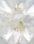 State Flowers Photos - White Rhododendron Flowers by Jennie Marie Schell