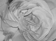 Nc Photographers Framed Prints - White Rose - Black and White - Photography Framed Print by Rebecca Anne Grant
