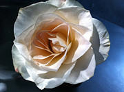 White Rose Print by Addie Hocynec