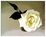 Alexis Rotella Framed Prints - White Rose Framed Print by Alexis Rotella