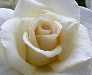 White Roses Photos - White Rose by Amy Fose