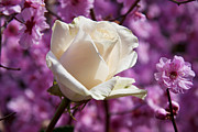 White Rose Photos - White rose and plum blossoms by Garry Gay