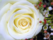 Gtjeddah Prints - White Rose Print by Graham Taylor