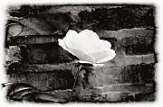 Flower Still Life Prints Digital Art Prints - White Rose in black and white Print by Bill Cannon