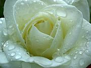 Raindrops Prints - White Rose Print by Juergen Roth