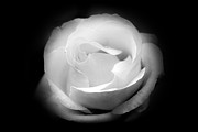 Black And Whites - White Rose Petals - II by Anthony Rego