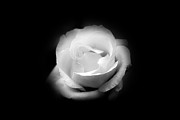 Black And Whites - White Rose Petals by Anthony Rego