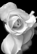 Monochromes Art - White Rose Petals Black and White by Jennie Marie Schell