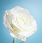 Rose Photography Posters - White Rose Poster by Peter Chadwick LRPS