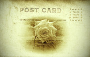Rose - White Rose Post Card by Bill Cannon