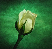 White And Green Framed Prints - White Rose Framed Print by Sandy Keeton