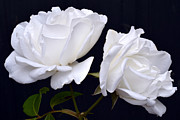 White Roses Originals - White Rose Twins. by Terence Davis