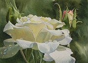 Watercolor Art Paintings - White Rose with Raindrops by Sharon Freeman