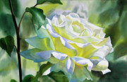 Watercolor  Paintings - White Rose with Yellow Glow by Sharon Freeman