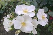 White Roses Photos - White Roses Bloom by Georgeta  Blanaru