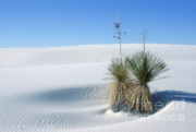 Gypsum Framed Prints - White Sands Dune and Yuccas Framed Print by Sandra Bronstein