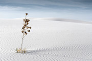 Desert Flower Framed Prints - White Sands Framed Print by Mike Irwin
