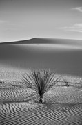 Black Posters - White Sands Yucca Poster by Peter Tellone