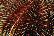 White Sea Urchin Print by Sami Sarkis