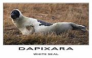 Wild Life Mixed Media Metal Prints - White Seal  Metal Print by Dapixara Art