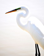 Egret Photo Prints - White Shadowed Print by Emily Stauring