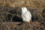 Rare Bird Metal Prints - White Snowy Owl Metal Print by Pierre Leclerc