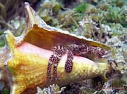 Li Newton - White Speckled Hermit Crab