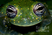 Cristal Framed Prints - White Spotted Glass Frog Framed Print by Dante Fenolio