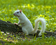 J Larry Walker Digital Art Prints - White Squirrel Print by J Larry Walker