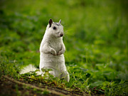 White Squirrel Print by JK York