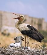 Wild Animals Art - White Stork Ciconia Ciconia, Turkey by Carson Ganci