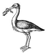 White Stork Print by Granger