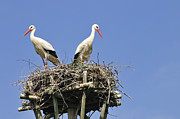 Blue Areas Posters - White storks in their nest Poster by Matthias Hauser