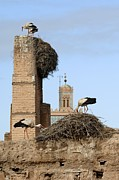 Moroccan Framed Prints - White Storks Nesting Framed Print by Chris Hellier